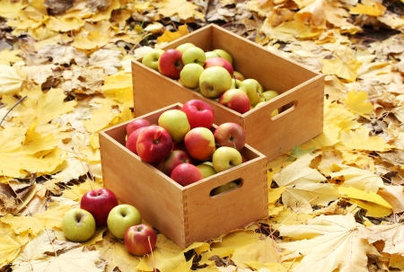 crates of fresh ripe apples in garden on autumn leaves photo