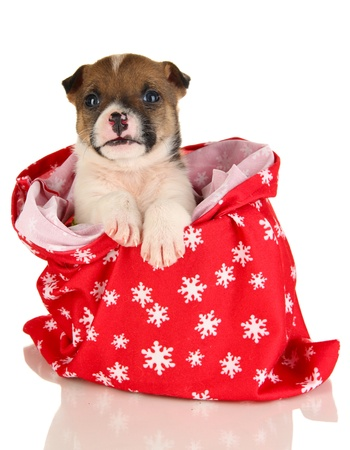 Beautiful little puppy in New Year bag isolated on white photo