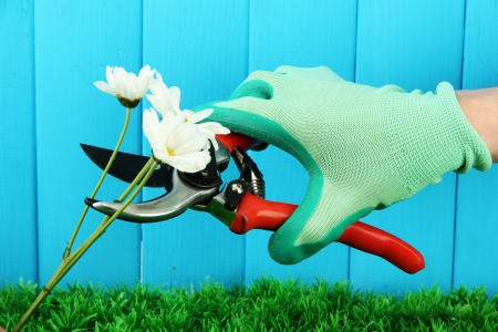 Secateurs with flower on fence background photo