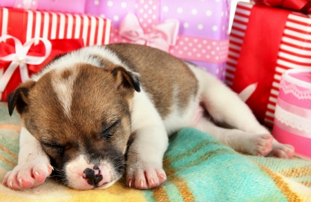 pet new years new year pup: Beautiful little puppy sleeping surrounded by gifts