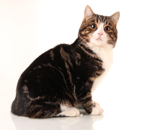 brown eyes: gato aislado en blanco Foto de archivo