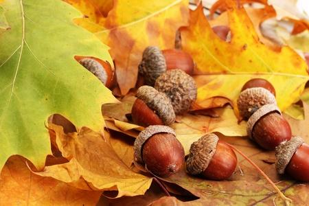 acorn tree: brown acorns on autumn leaves, close up