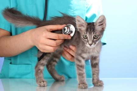 獣医の青色の背景に子猫を調べる
