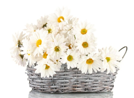 big daisy: daisies in  wicker basket isolated on white