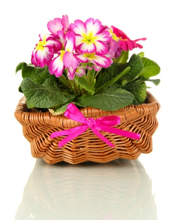primulas: Beautiful pink primulas in basket, isolated on white