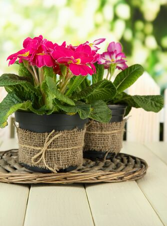 primulas: Beautiful pink primulas in flowerpots, on wooden table, on green background Stock Photo