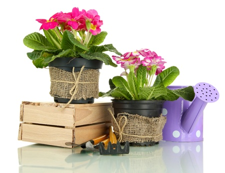 Beautiful pink primula in flowerpots and gardening tools, isolated on white photo