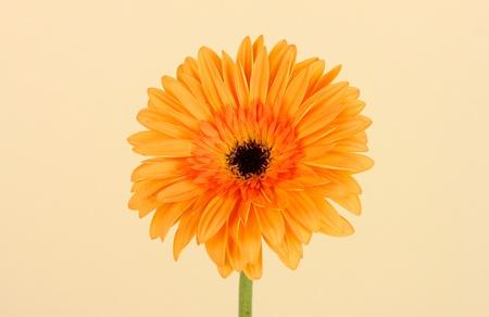 Beautiful Gerber flower on light background photo