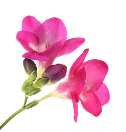 Pink freesia flower, isolated on white photo