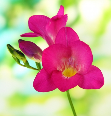 Pink freesia flower, on green background photo