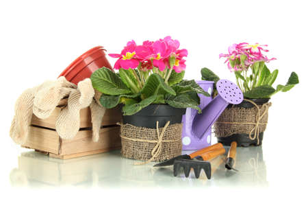 Beautiful pink primulas in flowerpots and gardening tools, isolated on white photo
