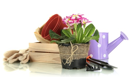 replanting: Beautiful pink primula in flowerpots and gardening tools, isolated on white