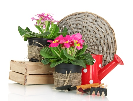 primulas: Beautiful pink primulas in flowerpots and gardening tools, isolated on white