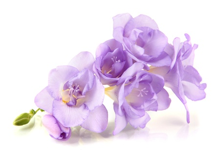 blue flowers: Beautiful freesia, isolated on white