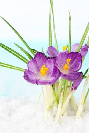 Beautiful purple crocuses on snow, on blue background photo