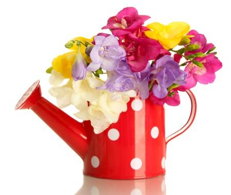 flores exoticas: Hermoso ramo de fresias en regadera, aislado en blanco