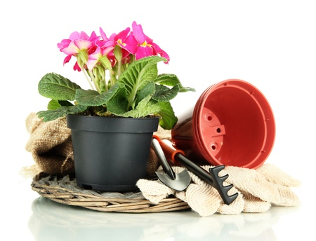 primula: Beautiful pink primula in flowerpot and gardening tools, isolated on white