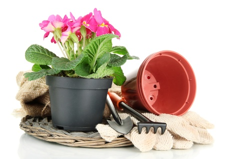 primulas: Beautiful pink primula in flowerpot and gardening tools, isolated on white