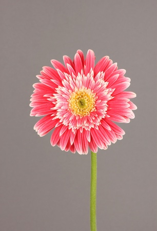 Beautiful Gerber flower on grey background photo