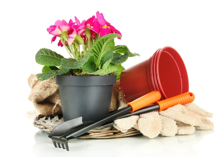 gardening tools: Beautiful pink primula in flowerpot and gardening tools, isolated on white