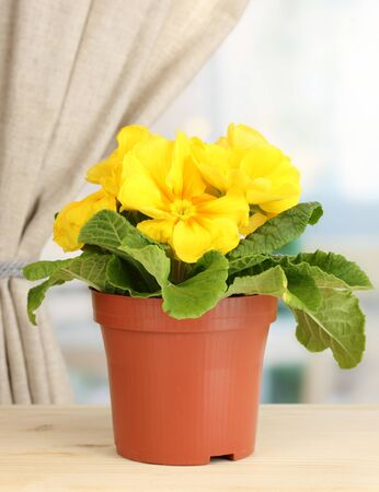 Beautiful yellow primula in flowerpot on wooden window sill photo