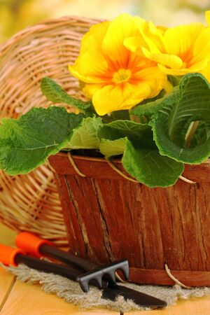 Beautiful yellow primula in basket on wooden table close up photo