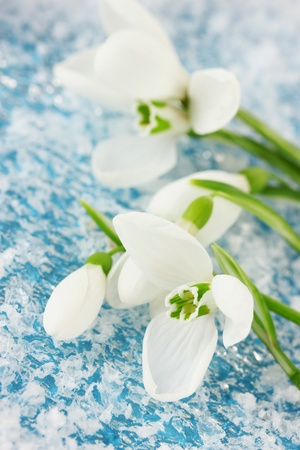 Bouquet of snowdrop flowers, on snow background photo
