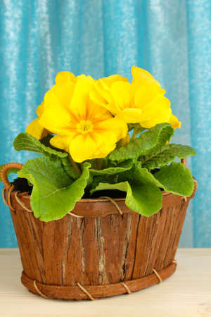 Beautiful yellow primula in basket on curtains background photo
