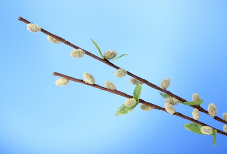 Pussy-willow twigs on blue background photo
