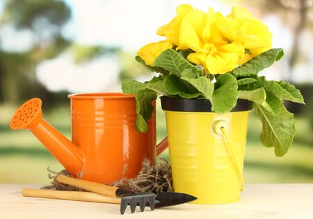 Beautiful yellow primula in flowerpot on wooden table on green background
