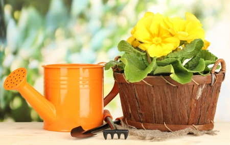 Beautiful yellow primula in basket on wooden table on green background photo