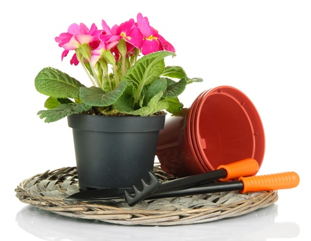 Beautiful pink primula in flowerpot and gardening tools, isolated on white photo