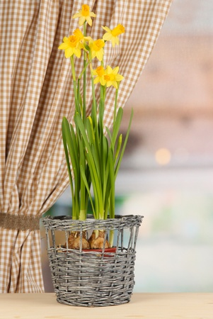 Beautiful yellow daffodils in flowerpot on window background Stock Photo - 18558795