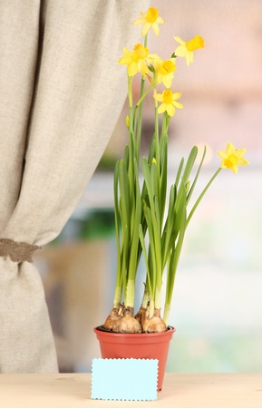 Beautiful yellow daffodils in flowerpot on window background photo