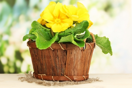 Beautiful yellow primula in basket on wooden table on green background Stock Photo - 18696026
