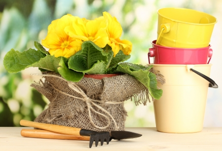 replanting: Beautiful yellow primula in flowerpot on wooden table on green background