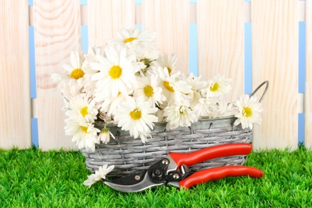 daisies in  wicker basket on grass on blue background photo