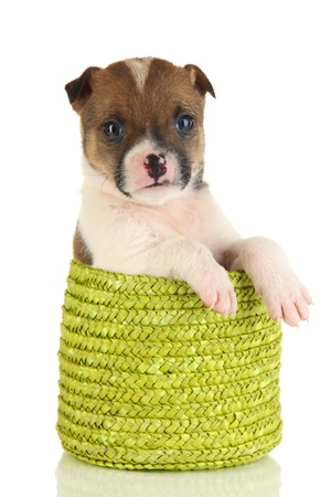 Beautiful little puppy in basket isolated on white photo