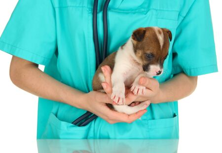 Beautiful little puppy on inspection by veterinarian isolated on white photo