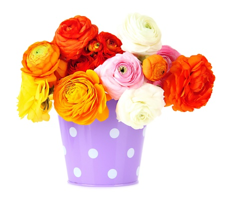 Ranunculus (persian buttercups) in pail, isolated on white photo