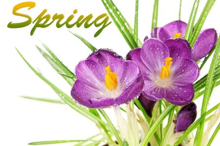 crocuses: Beautiful purple crocuses close-up