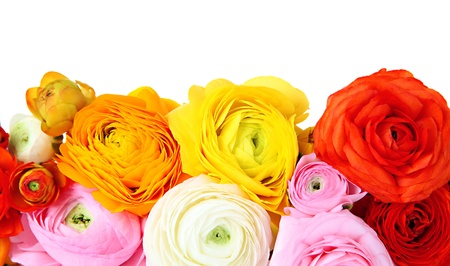 Ranunculus (persian buttercups), isolated on white photo