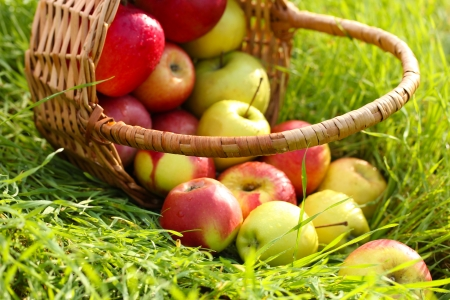 basket of fresh ripe apples in garden on green grass photo