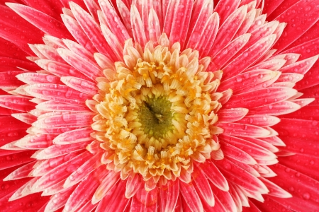 Beautiful Gerber flower close-up photo