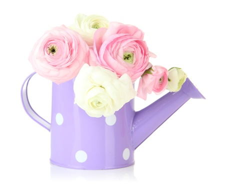 Ranunculus (persian buttercups) in watering can, isolated on white photo