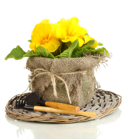 replanting: Beautiful yellow primula in flowerpot, isolated on white