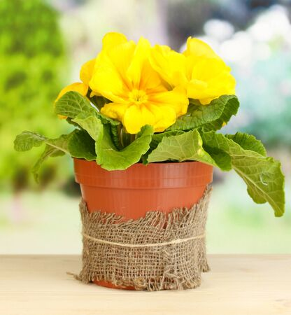 Beautiful yellow primula in flowerpot on wooden table on green background Stock Photo - 19173805