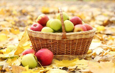 basket of fresh ripe apples in garden on autumn leaves photo