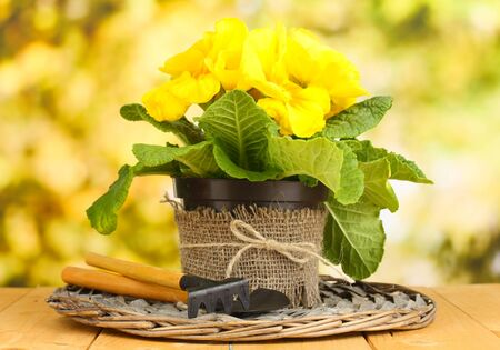 Beautiful yellow primula in flowerpot on wooden table on green background Stock Photo - 19271466
