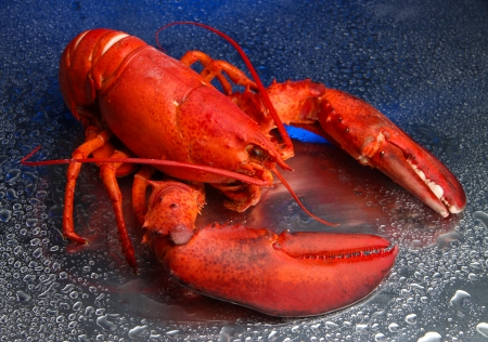 Red lobster on blue background photo